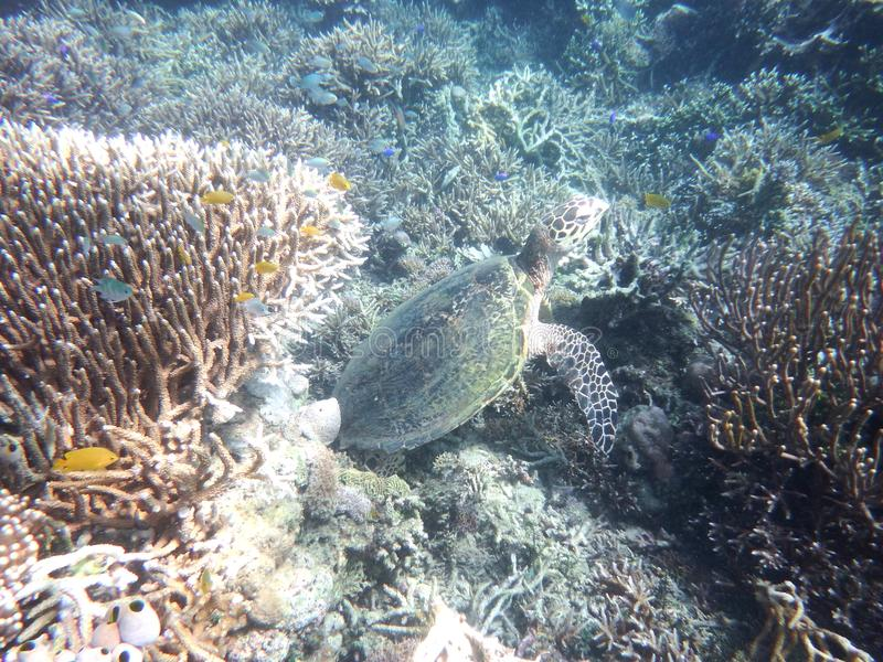 Suppenschildkröte von Komodo lizenzfreies stockbild
