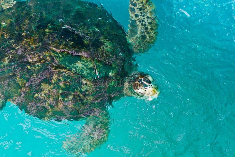 Suppenschildkröteschwimmen lizenzfreie stockbilder