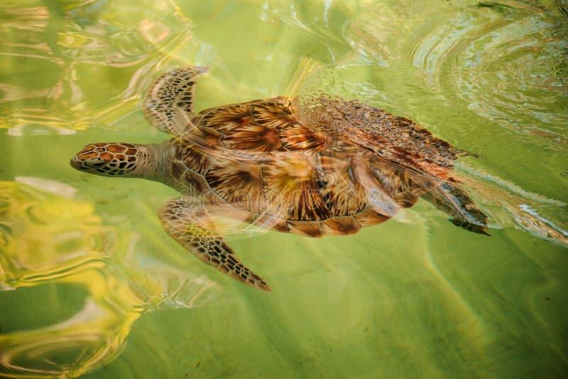 Suppenschildkröteschwimmen unter Wasser stockfotografie