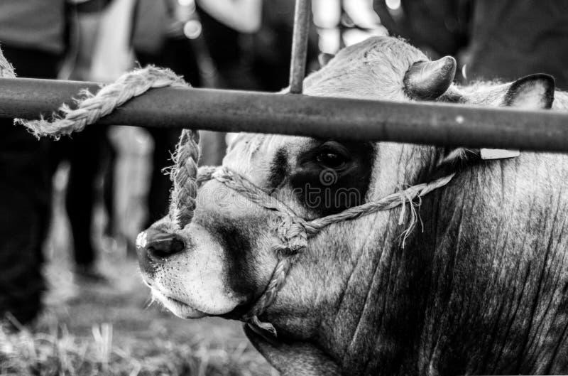 Supplica degli occhi delle mucche dietro il recinto fotografie stock