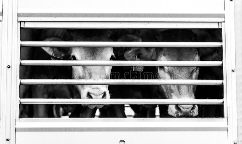 Supplica degli occhi delle mucche dietro il recinto immagine stock