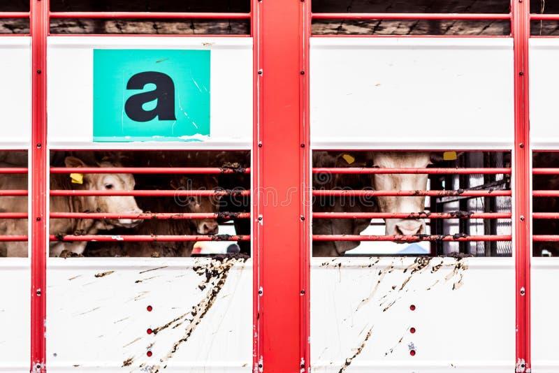 Supplica degli occhi delle mucche dietro il recinto immagine stock libera da diritti