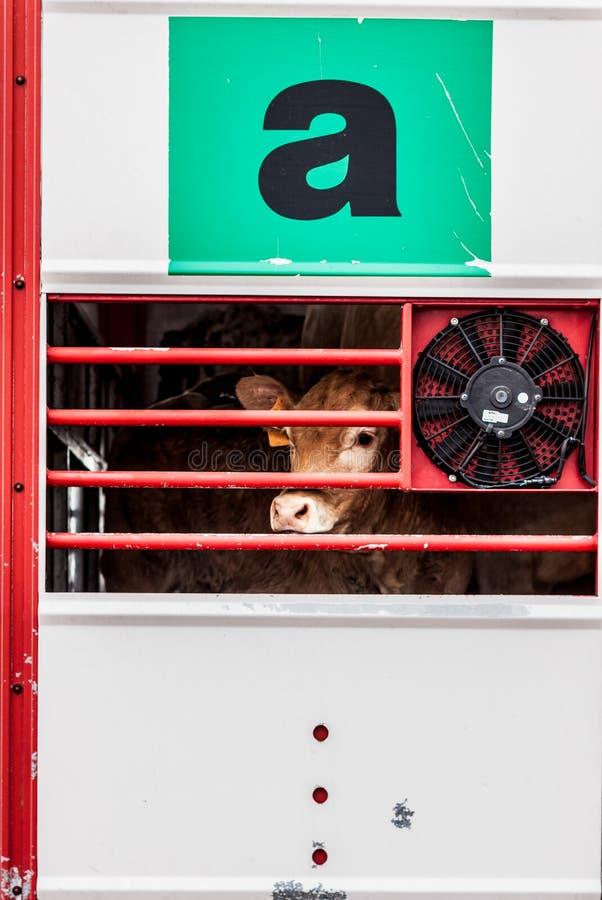Supplica degli occhi delle mucche dietro il recinto immagini stock