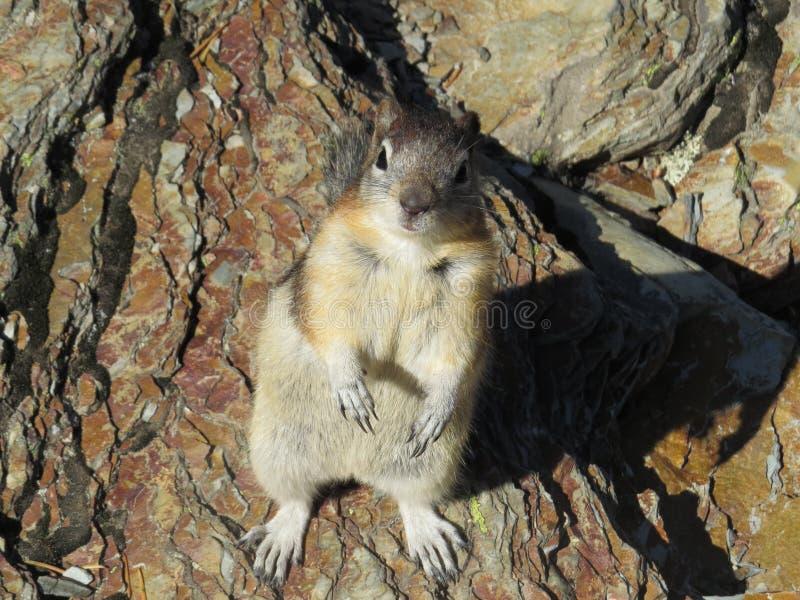 Supplica dello scoiattolo a terra nel lago Grinnell fotografie stock libere da diritti