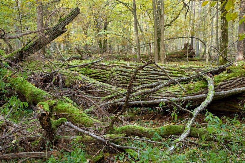Support à feuilles caduques de forêt de Bialowieza au printemps images stock