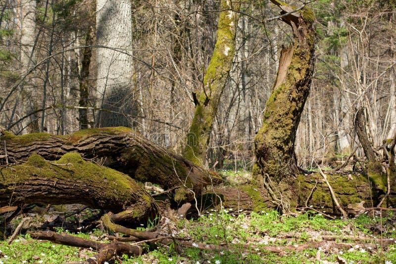 Support à feuilles caduques de forêt de Bialowieza au printemps photos libres de droits