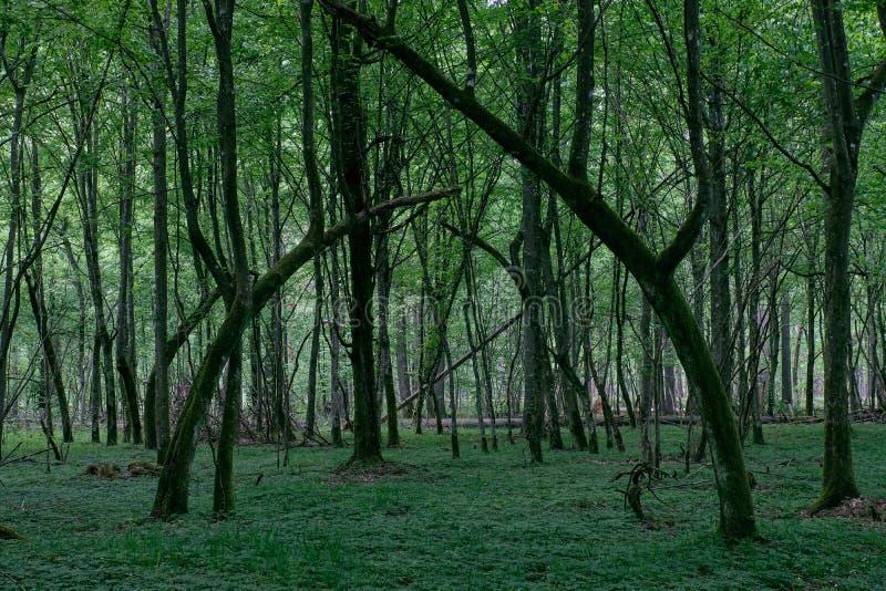 Support à feuilles caduques naturel au printemps image libre de droits