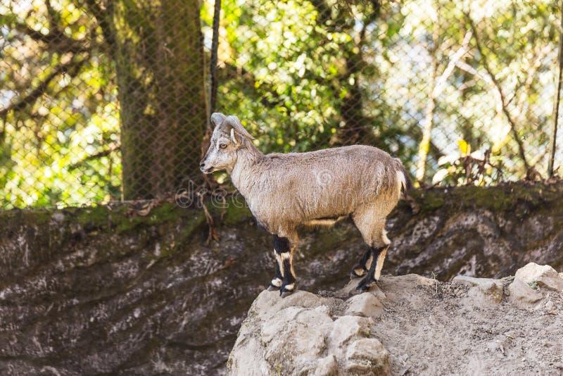 Support bleu d'agneau sur la roche qui vivent dans le parc zoologique de l'Himalaya de Padmaja Naidu chez Darjeeling, Inde photo stock