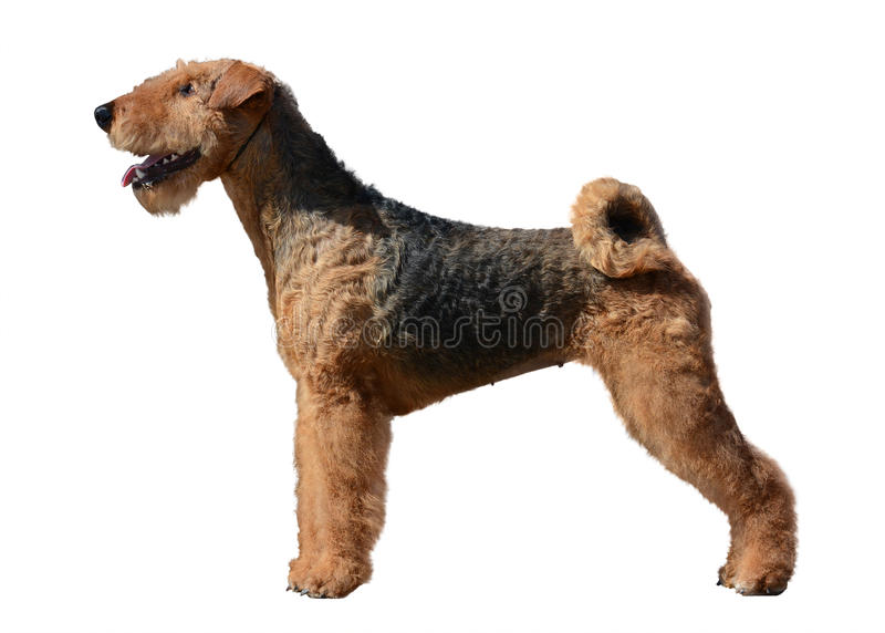 Support d'Airedale Terrier d'isolement photo stock