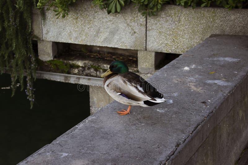 Support de canard sauvage sur une jambe sur un ponton photos stock