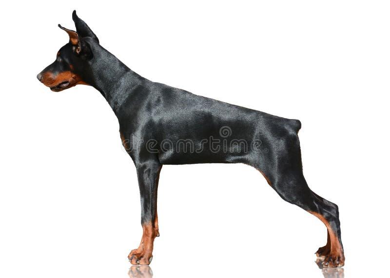 Support de chien de dobermann d'isolement sur le fond blanc Vue de côté photographie stock libre de droits