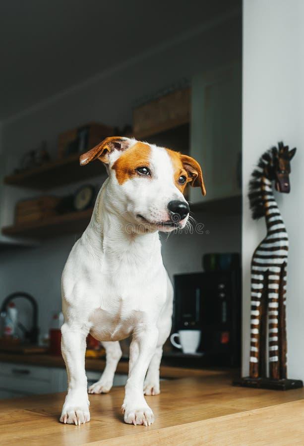 Support de chien de Jack Russell Terrier sur la table dans la cuisine à la maison Verticale verticale images stock