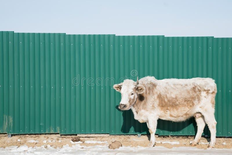 Support de vache à Angus au-dessus de mur vert photos libres de droits
