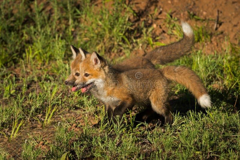 Support de vulpes de Vulpes de kits de Fox rouge ensemble photo libre de droits