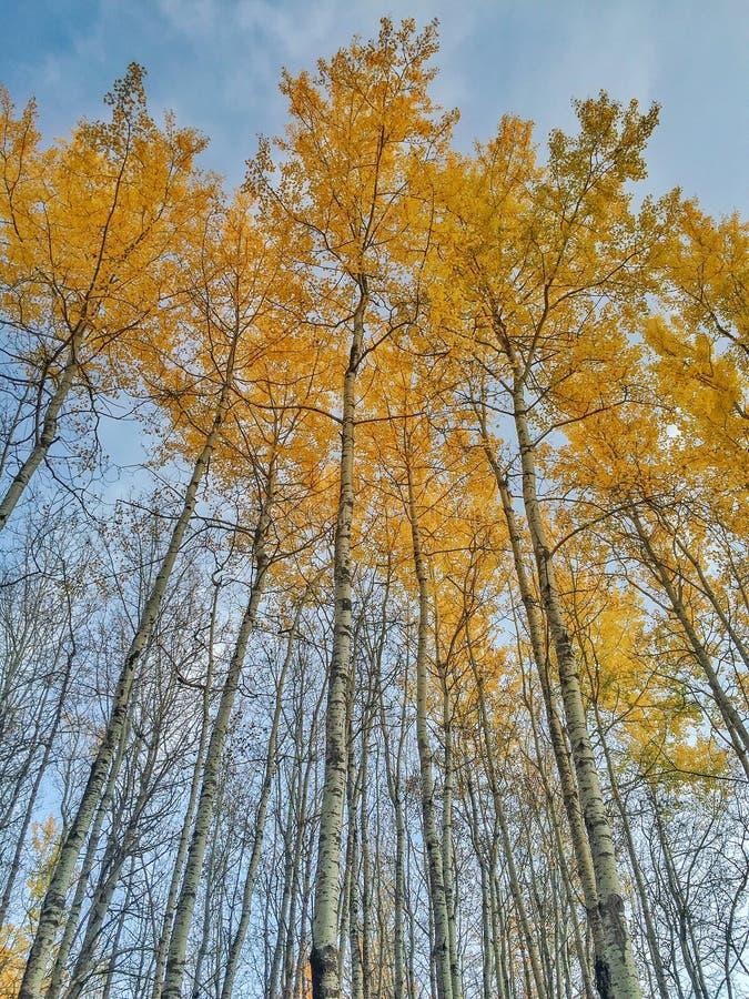 Support des arbres de peuplier de chute avec les feuilles d'or de l'automne Cloudscape rural images stock