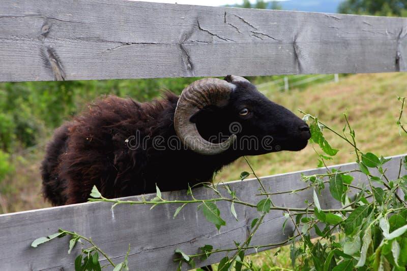 Support noir adulte de chèvre dans une herbe d'été photographie stock