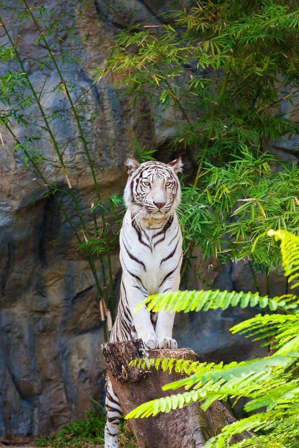 Supporto bianco della tigre sul ceppo fotografie stock libere da diritti
