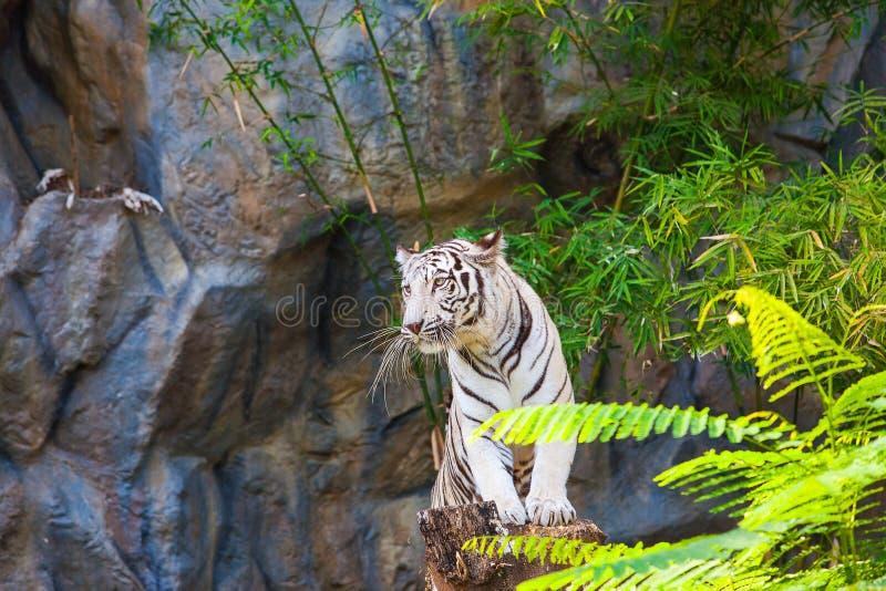 Supporto bianco della tigre sul ceppo immagini stock