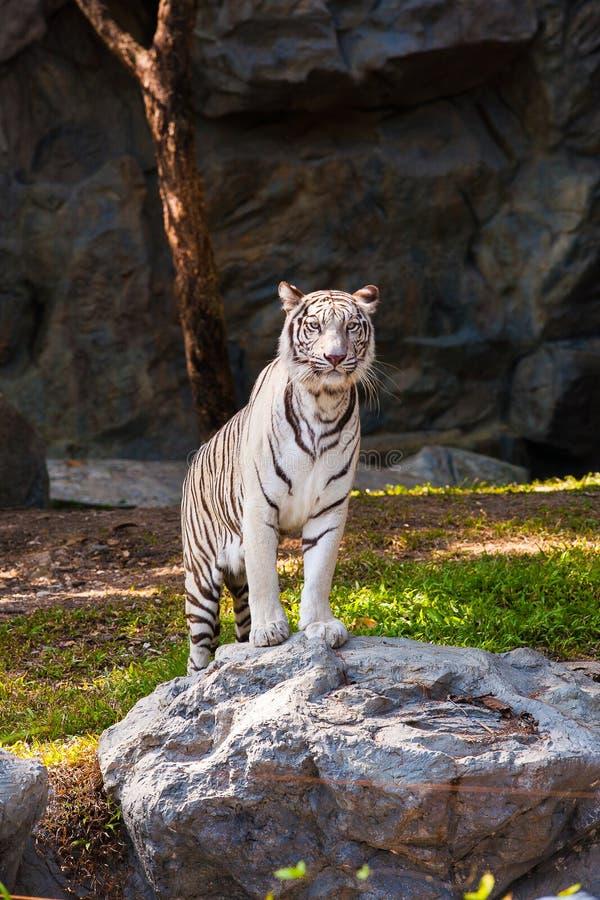 Supporto bianco della tigre sulla roccia fotografia stock libera da diritti