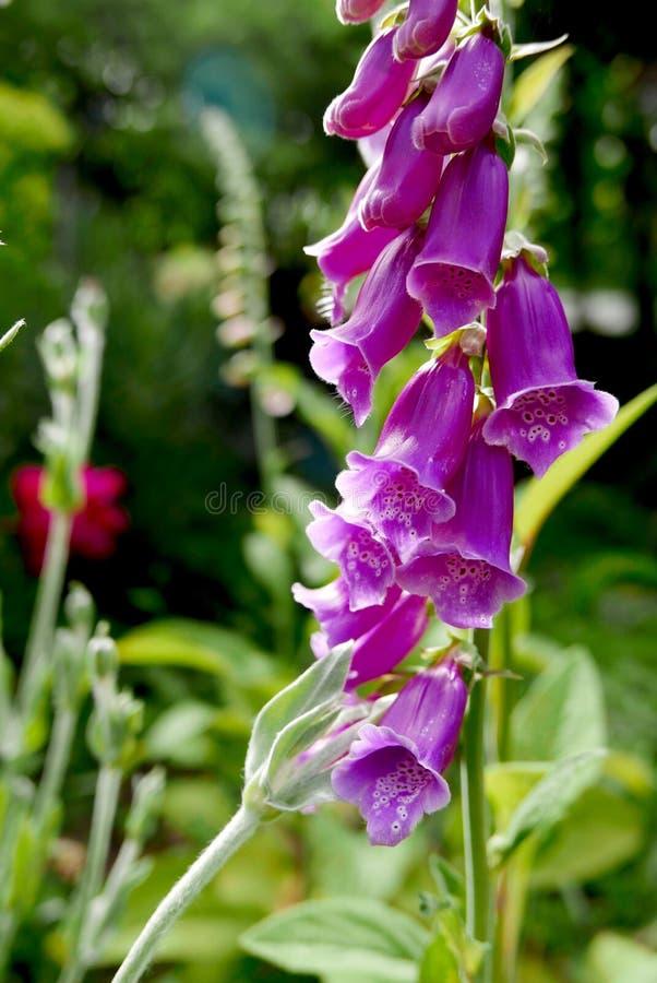 Supporto di fiori rosa della digitale alto contro il verde del giardino immagini stock