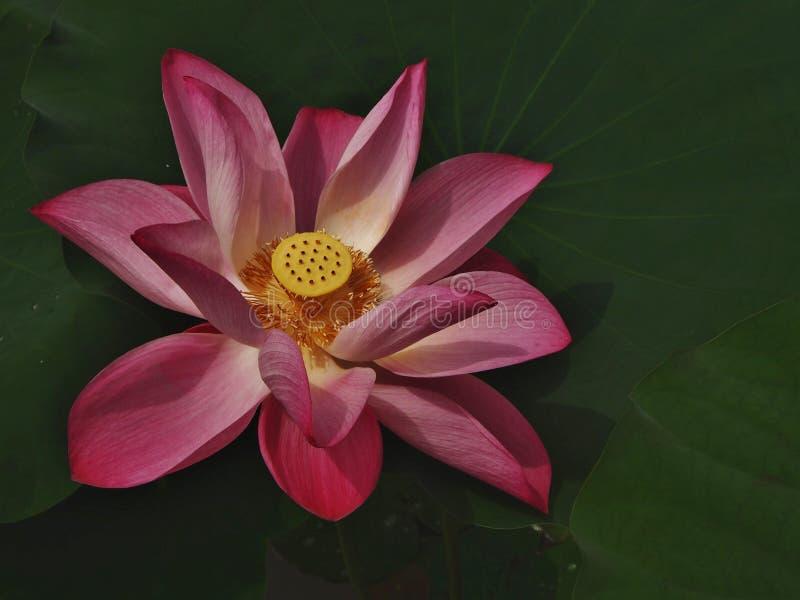Supporto di Lotus solo fotografia stock libera da diritti