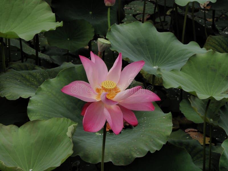 Supporto di Lotus solo fotografia stock