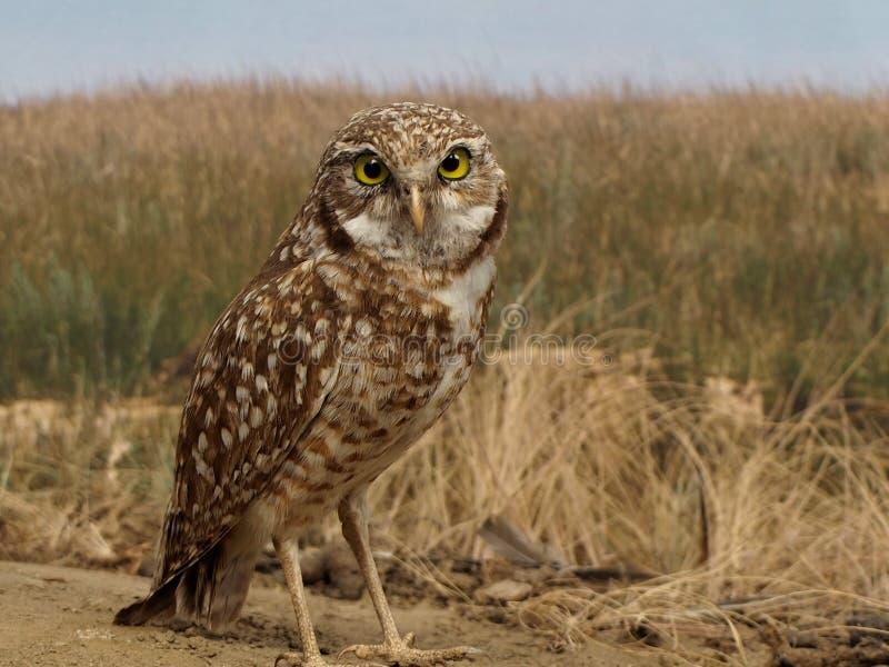 Supporto di tassidermia di Burrowing Owl Athene Cunicularia fotografie stock libere da diritti