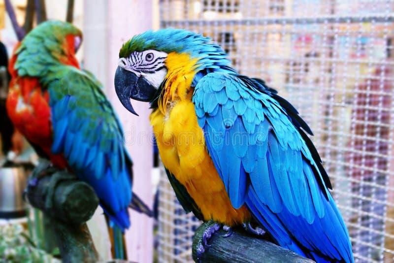 Supporto divertente sveglio del pappagallo ad un deposito dell'animale domestico fotografia stock