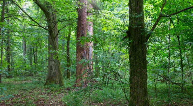 Supporto misto naturale della foresta di Bialowieza fotografia stock libera da diritti
