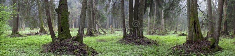 Supporto rivierasco naturale della foresta di Bialowieza fotografie stock