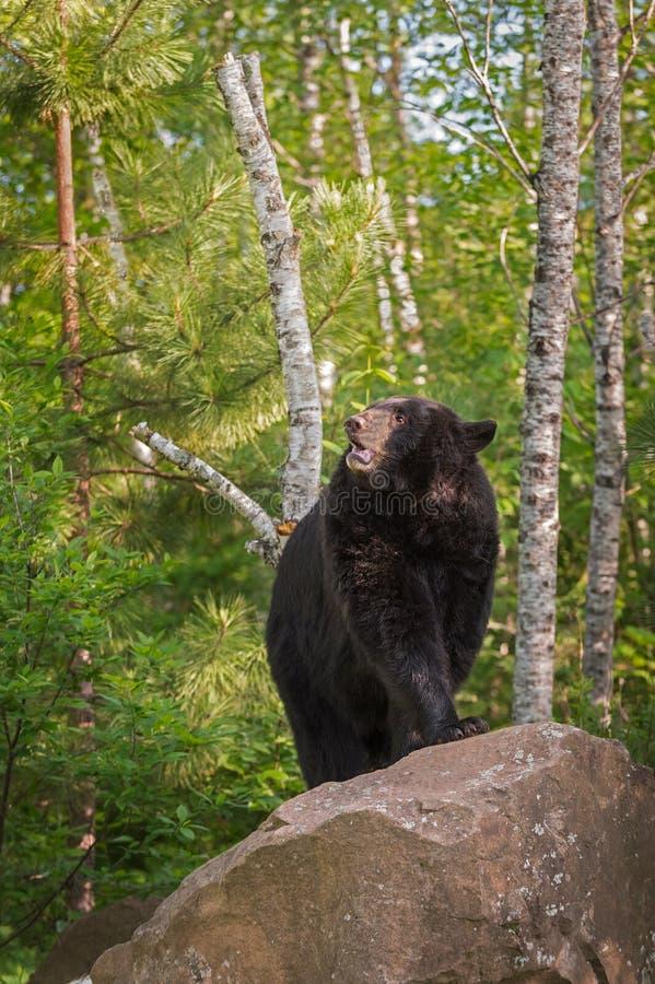 Supports américanus femelles adultes d'Ursus d'ours noir sur la roche Lookin images stock