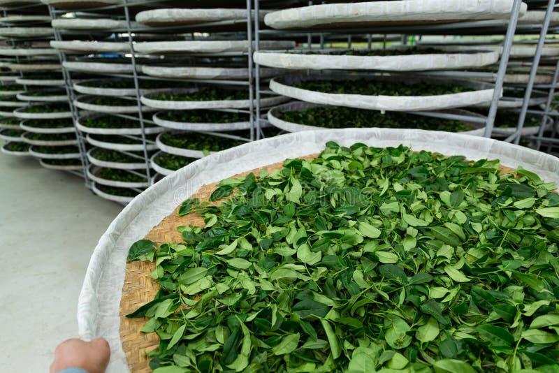 Supports de fermentation de thé photos libres de droits