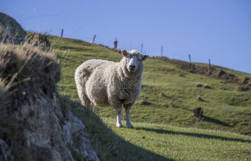 Supprise-Schafe, Nelson, Neuseeland lizenzfreie stockfotografie