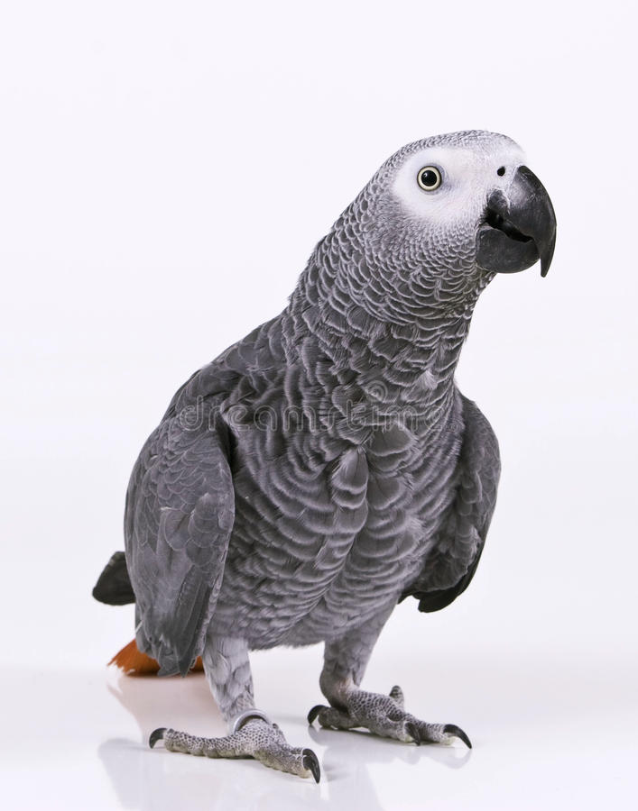 supprised的鹦鹉 免版税库存照片