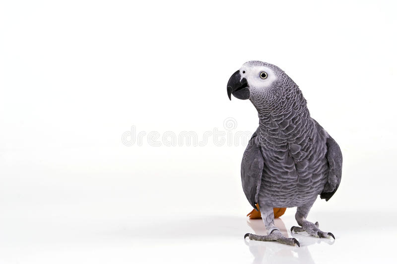 Isolated Surprised parrot. African Grey Isolated Parrot white background
