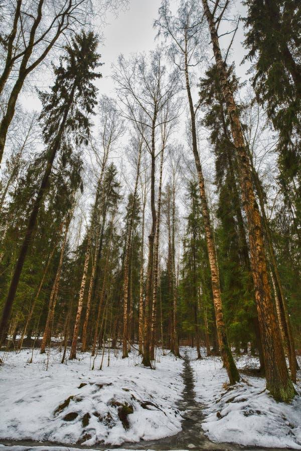 Supra pinhos e vidoeiros altos no inverno sombrio, parque coberto de neve, processamento da arte fotografia de stock