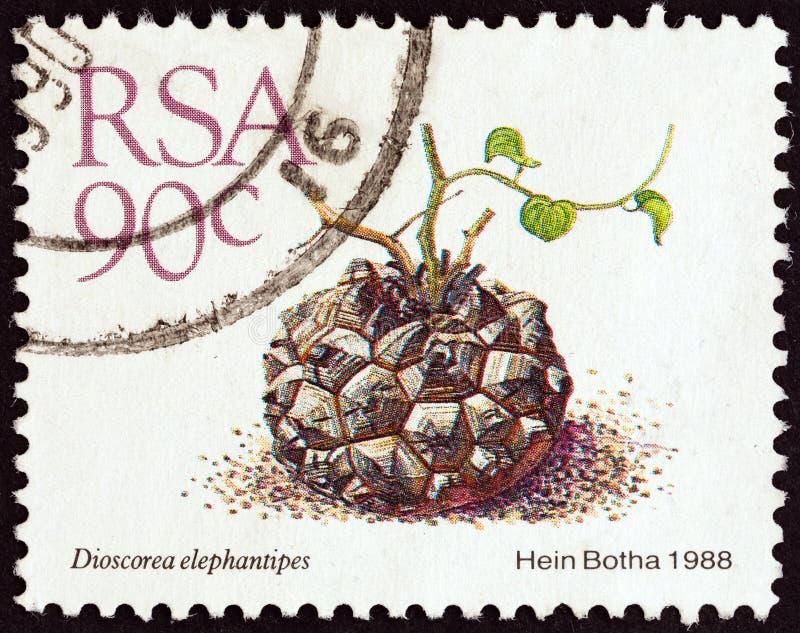 SURÁFRICA - CIRCA 1988: Un sello impreso en Suráfrica muestra los elephantipes de la dioscórea del pie del elefante, circa 1988 imagen de archivo libre de regalías
