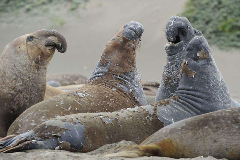 sur уплотнений большого слона california перелиняя стоковое фото rf
