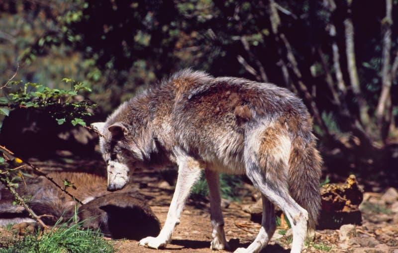 Sur-Francia: Un lobo en 'lupas del DES de Parc en el Cevennes imagen de archivo