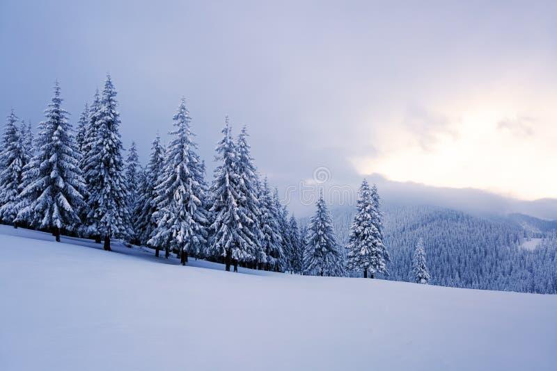 Sur la pelouse large il y a beaucoup de sapins se tenant sous la neige le jour givré d'hiver image libre de droits