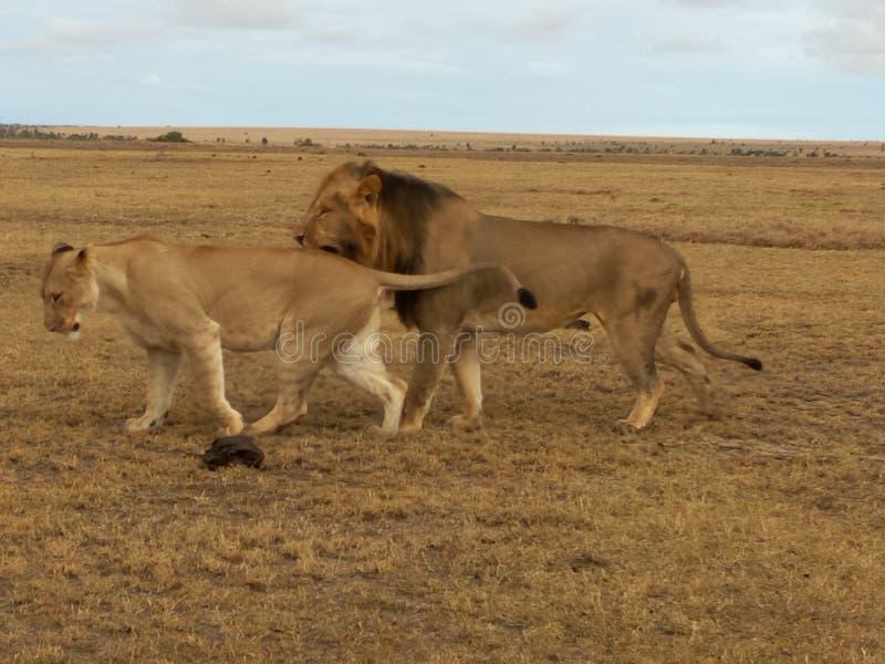 Sur le safari folâtré accouplement de lion photo stock