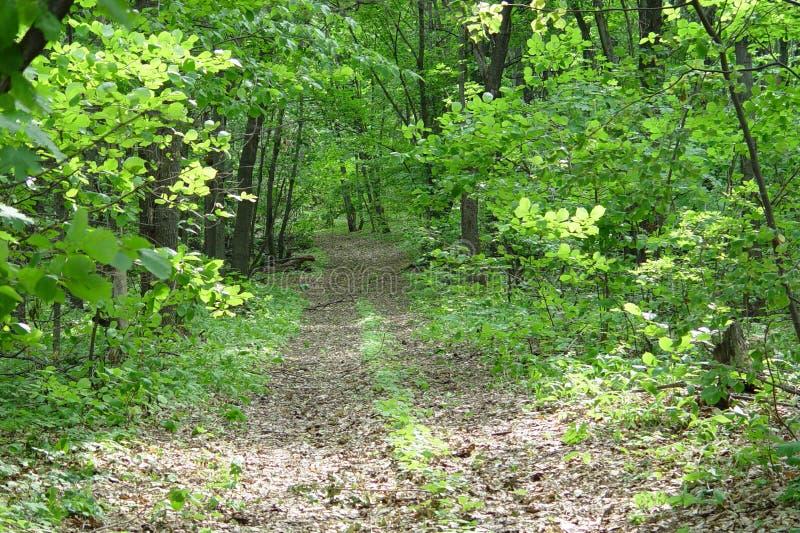 Sur un chemin forestier en début de l'été image stock