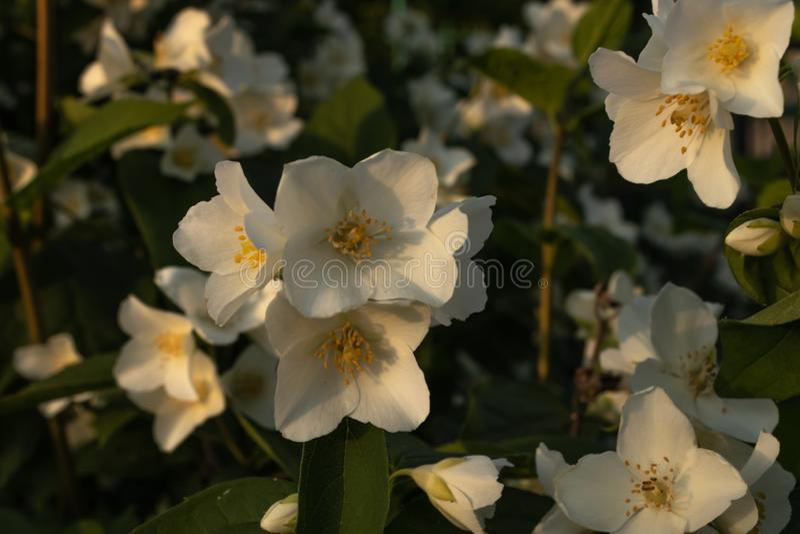 Sur une branche verte sont les grandes fleurs blanches de jasmin sur un parterre à la maison dans les rayons du coucher de soleil photographie stock libre de droits