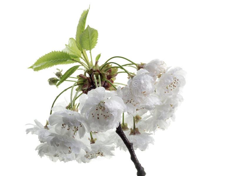 Sura körsbärsröda blomningar arkivbild
