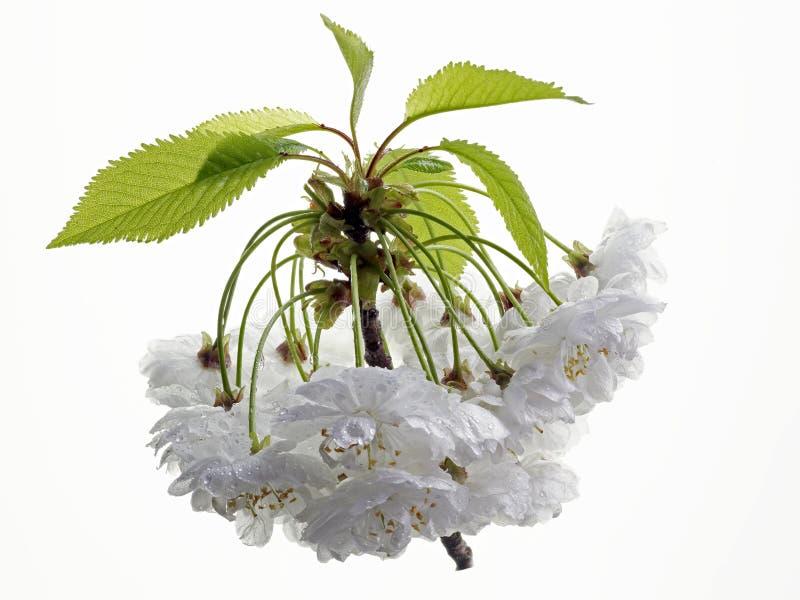 Sura körsbärsröda blomningar royaltyfri fotografi