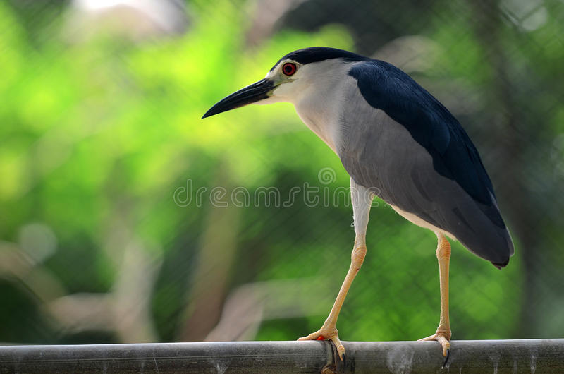 Surabaya. Egret bird in close up in Surabaya zoo, East Java, Indonesia royalty free stock photography