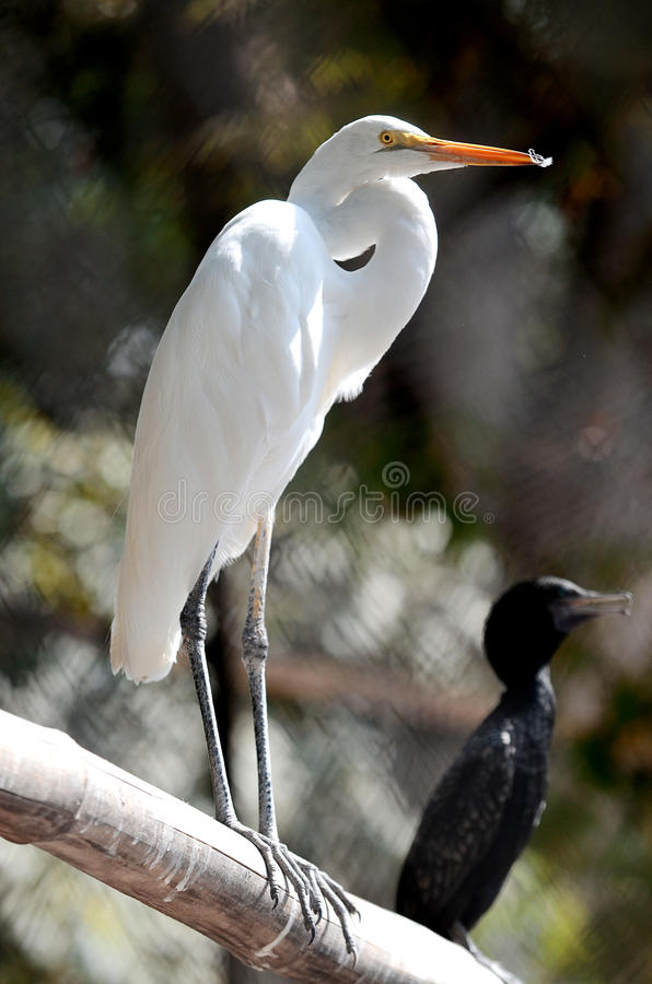 Surabaya. Egret bird in close up in Surabaya zoo, East Java, Indonesia royalty free stock image