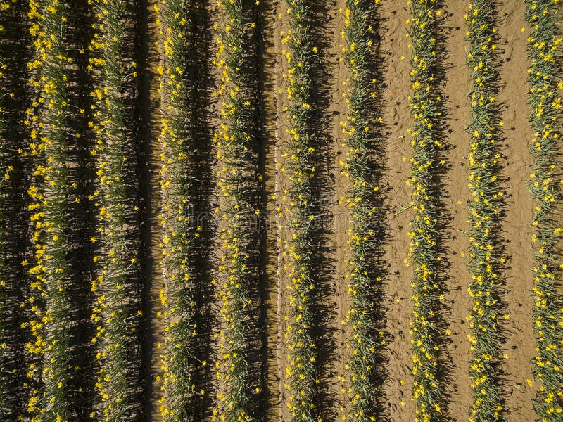 Aerial View of Skagit Valley Daffodils. A sure sign of spring is the emergence of the daffodils in the agricultural Skagit Valley. This is an overhead look fro royalty free stock photography