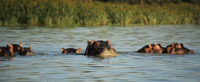 Surfaçage d'hippopotames images stock
