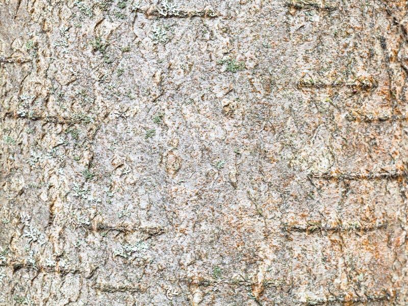 Surface of bark on trunk of rowan tree close up stock photos